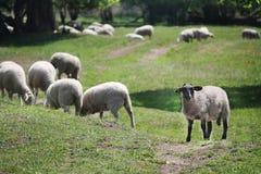 Φυσικό άγριο λιβάδι άνοιξη και sheeps στοκ φωτογραφίες με δικαίωμα ελεύθερης χρήσης
