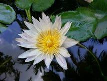 Φυσικό άσπρο λουλούδι κρίνων νερού της Σρι Λάνκα Στοκ Φωτογραφία