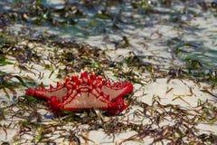 Φυσικό αστέρι Ερυθρών Θαλασσών στην παραλία Στοκ Εικόνα