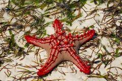 Φυσικό αστέρι Ερυθρών Θαλασσών Στοκ Εικόνες
