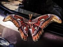 Φυσικό ζωικό ύφος Ταϊλάνδη πεταλούδων Στοκ εικόνες με δικαίωμα ελεύθερης χρήσης