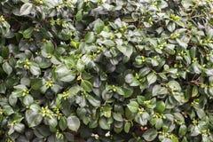 Φυσικό και φρέσκο πράσινο φυλλώδες δέντρο του Μπους Στοκ φωτογραφία με δικαίωμα ελεύθερης χρήσης