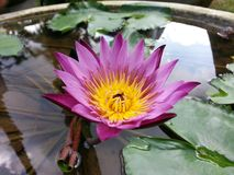 Φυσικό λουλούδι κρίνων νερού χρώματος μιγμάτων ρόδινο της Σρι Λάνκα Στοκ Εικόνα