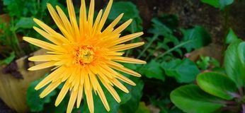 Φυσικό λουλούδι πικραλίδων της Σρι Λάνκα στοκ εικόνες με δικαίωμα ελεύθερης χρήσης