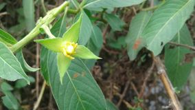 Φυσικό λουλούδι στη Σρι Λάνκα στοκ εικόνες