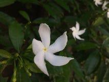 Φυσικό λουλούδι της Σρι Λάνκα στοκ εικόνες