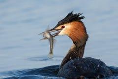 Φυσικό μεγάλο λοφιοφόρο cristatus grebe podiceps με τα ψάρια στο ράμφος Στοκ φωτογραφίες με δικαίωμα ελεύθερης χρήσης