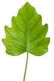Φυσικό μεγάλο πράσινο φύλλο τροπικών δασών ζουγκλών, philodendron isolat Στοκ Εικόνες