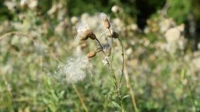 Φυσικό ξηρό κοινό λουλούδι sowthistle με το χνούδι που ταλαντεύεται στον αέρα απόθεμα βίντεο