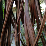 Φυσικό, ξηρό areca κουρτινών φύλλο Στοκ εικόνα με δικαίωμα ελεύθερης χρήσης
