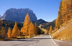 Φυσικό οδόστρωμα στις Άλπεις δολομίτη με τα όμορφα κίτρινα δέντρα αγριόπευκων και βουνό Sassolungo στο υπόβαθρο Στοκ Εικόνες