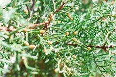 Φυσικό περιβάλλον, νέος κώνος πεύκων στοκ εικόνες