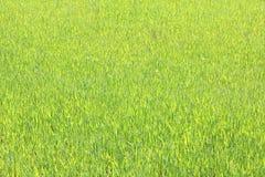 Φυσικό πράσινο υπόβαθρο με την πράσινη χλόη Στοκ Εικόνες