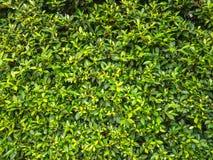 Φυσικό πράσινο φύλλο Στοκ Εικόνα