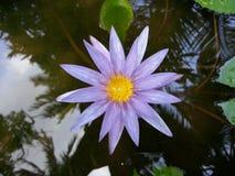 Φυσικό σκοτεινό πορφυρό λουλούδι κρίνων νερού της Σρι Λάνκα Στοκ Φωτογραφία