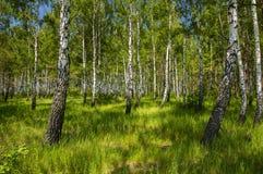 Φυσικό τοπίο - άλσος σημύδων σε ένα υπόβαθρο της πράσινης χλόης στοκ εικόνες