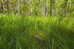 Φυσικό τοπίο - άλσος σημύδων σε ένα υπόβαθρο της πράσινης χλόης στοκ φωτογραφία