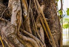 Φυσικό υπόβαθρο αμπέλων δέντρων στριμμένο κορμός, καφετιά σύσταση Στοκ Εικόνες