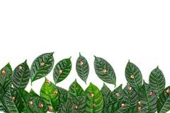 Φυσικό υπόβαθρο διακοπών με τα πράσινα φύλλα σε ένα άσπρο υπόβαθρο Στοκ Εικόνες