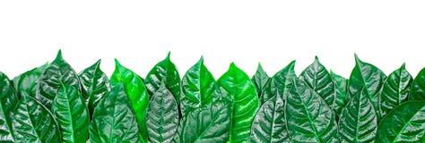 Φυσικό υπόβαθρο εμβλημάτων με τα πράσινα φύλλα που απομονώνεται στο άσπρο υπόβαθρο Στοκ φωτογραφία με δικαίωμα ελεύθερης χρήσης