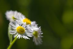 Φυσικό υπόβαθρο λουλουδιών Chamomile Στοκ φωτογραφία με δικαίωμα ελεύθερης χρήσης