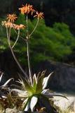 Φυσικό υπόβαθρο με τα ανθίζοντας Aloe λουλούδια Ιατρική Στοκ φωτογραφία με δικαίωμα ελεύθερης χρήσης
