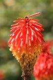 Φυσικό υπόβαθρο με τα ανθίζοντας Aloe λουλούδια Στοκ Εικόνα