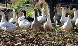Φυσικό υπόβαθρο με τα εσωτερικά πουλερικά στην αυλή Στοκ Εικόνες