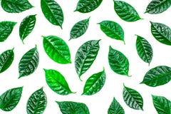 Φυσικό υπόβαθρο με τα πράσινα φύλλα που απομονώνεται στο άσπρο υπόβαθρο Στοκ εικόνα με δικαίωμα ελεύθερης χρήσης