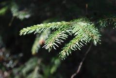 Φυσικό υπόβαθρο με τους αειθαλείς κλάδους δέντρων πεύκων κωνοφόρων Καλοκαίρι Forrest Στοκ Εικόνα