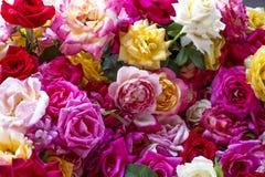 Φυσικό υπόβαθρο τριαντάφυλλων Στοκ Εικόνες