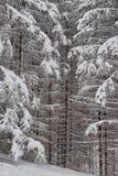 Φυσικό υπόβαθρο των χιονισμένων κλάδων το χειμώνα Στοκ φωτογραφία με δικαίωμα ελεύθερης χρήσης