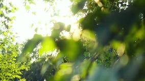 Φυσικό φωτεινό υπόβαθρο με τα φύλλα σημύδων, θολωμένο υπόβαθρο και sunlights με τη φλόγα φακών σε σε αργή κίνηση 1920x1080 φιλμ μικρού μήκους