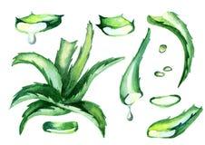 Φυσικό aloe σύνολο της Βέρα Συρμένη χέρι απεικόνιση Watercolor Απεικόνιση αποθεμάτων