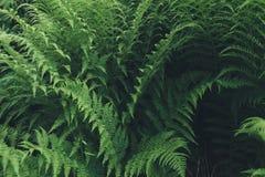 Φυσικό floral υπόβαθρο φυλλώματος φύλλων φτερών μεγάλο πράσινο στοκ εικόνες με δικαίωμα ελεύθερης χρήσης