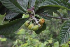 Φυσικό Loquat στοκ εικόνα με δικαίωμα ελεύθερης χρήσης