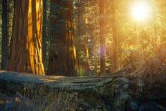 Φυσικό Sequoia δάσος Στοκ εικόνες με δικαίωμα ελεύθερης χρήσης