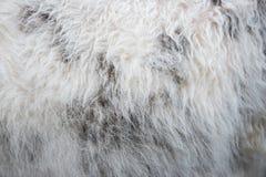 Φυσικό sheepskin Στοκ φωτογραφίες με δικαίωμα ελεύθερης χρήσης