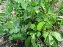 Φυστίκια στον κήπο Στοκ φωτογραφία με δικαίωμα ελεύθερης χρήσης