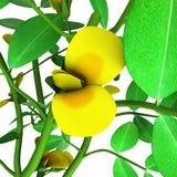 Φυστίκι ή αραχίδα (Arachis hypogaea Στοκ Εικόνες