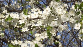 Φυσώντας άσπρα λουλούδια απόθεμα βίντεο