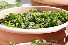 Φυτά γλαστρών Στοκ Εικόνες