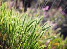 φυτά δημητριακών Στοκ Εικόνες