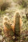 φυτά κάκτων Στοκ Φωτογραφίες