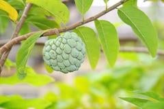 φυτά κρέμας μήλων Στοκ εικόνα με δικαίωμα ελεύθερης χρήσης