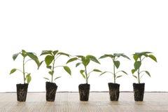 φυτά μικρά Στοκ εικόνες με δικαίωμα ελεύθερης χρήσης
