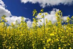 φυτά πεδίων canola στοκ εικόνες