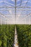 φυτά πιπεριών θερμοκηπίων Στοκ φωτογραφία με δικαίωμα ελεύθερης χρήσης