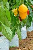Φυτά πιπεριών Στοκ φωτογραφία με δικαίωμα ελεύθερης χρήσης
