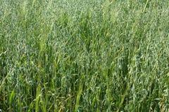 Φυτά σιταριού Στοκ Φωτογραφίες